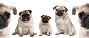 Buying Your Pug Puppy