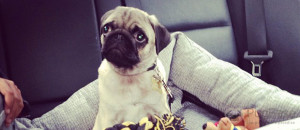Your Pug's First Day At Home