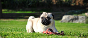 Top 10 Things to Know before Getting a Pug