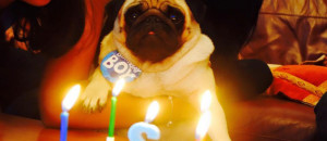 Your Pug's Birthday Celebrations!